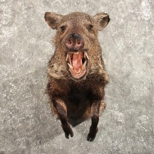 Collared Peccary Javelina Mount #10587 - For Sale - The Taxidermy Store