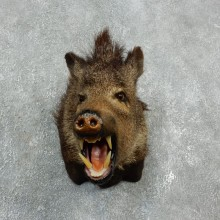 Peccary Taxidermy Mount For Sale #17922 @ The Taxidermy Store