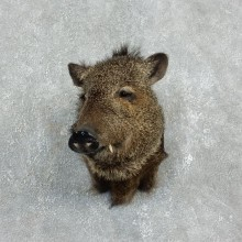 Peccary Taxidermy Mount For Sale #17925 @ The Taxidermy Store