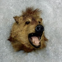 Peccary Taxidermy Mount For Sale #18057 @ The Taxidermy Store