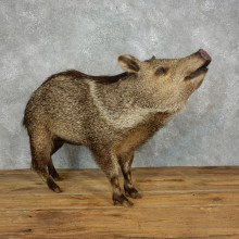 Peccary Life-Size Mount For Sale #18218 @ The Taxidermy Store