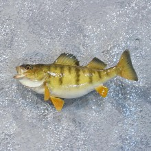 Yellow Perch Freshwater Fish Mount #10183 For Sale @ The Taxidermy Store
