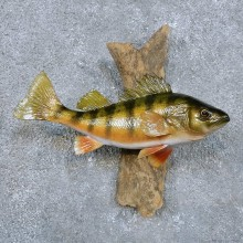 Perch Fish Mount For Sale #14343 @ The Taxidermy Store