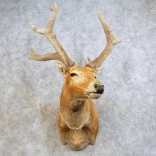 Pere David's Deer Stag Taxidermy Shoulder Mount For Sale
