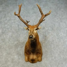Pére David's Deer Stag Taxidermy Shoulder Mount For Sale