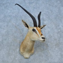 Peter's Gazelle Shoulder Mount For Sale #15484 @ The Taxidermy Store