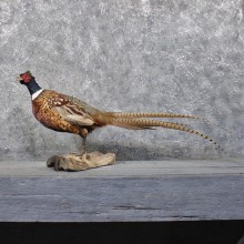 Ringneck Pheasant Bird Mount #11849 For Sale @ The Taxidermy Store
