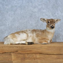 Piebald Deer Life-Size Mount For Sale #15413 @ The Taxidermy Store