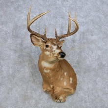 Piebald Whitetail Deer Taxidermy Shoulder Mount For Sale #14081 @ The Taxidermy Store
