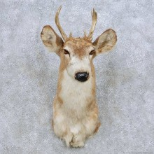 Piebald Whitetail Deer Shoulder Mount For Sale #14082 @ The Taxidermy Store