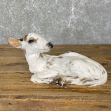 Piebald Whitetail Deer Fawn Life-Size Mount For Sale #24133 - The Taxidermy Store