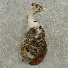 Pied Peacock Bird Shoulder Mount For Sale #16897 @ The Taxidermy Store