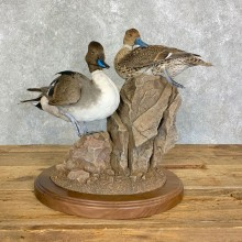 Pintail Duck Bird Taxidermy Mount For Sale #22902 @ The Taxidermy Store