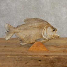 Piranha Fish Mount #20620 For Sale @ The Taxidermy Store