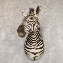 Plains Zebra Shoulder Mount For Sale #22575 @ The Taxidermy Store