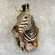 African Plains Zebra Taxidermy Shoulder Mount For Sale
