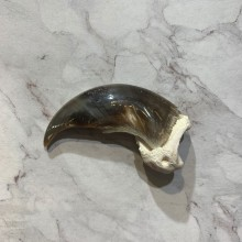 Polar Bear Claw Taxidermy For Sale #20655 - The Taxidermy Store