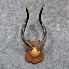 African Nyala Horn Plaque #10610 - For Sale @ The Taxidermy Store
