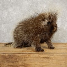 Porcupine Life-Size Mount For Sale #20390 @ The Taxidermy Store