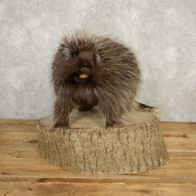 Porcupine Life-Size Mount For Sale #20391 @ The Taxidermy Store