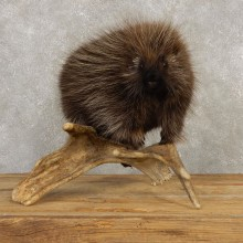 Porcupine Life-Size Mount For Sale #20392 @ The Taxidermy Store
