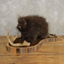 Porcupine Life-Size Mount For Sale #20401 @ The Taxidermy Store