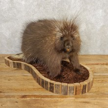Porcupine Life-Size Mount For Sale #20402 @ The Taxidermy Store