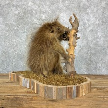 Porcupine Life-Size Taxidermy Mount For Sale #23177 @ The Taxidermy Store