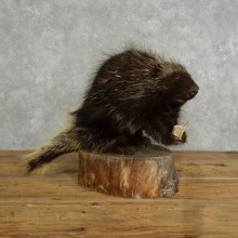 Porcupine Life Size Taxidermy #17049 For Sale @ The Taxidermy Store