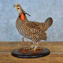 Greater Prairie Chicken Bird Mount For Sale #15563 @ The Taxidermy Store