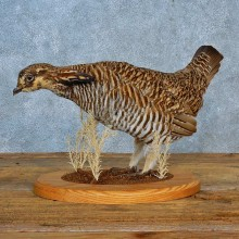 Greater Prairie Chicken Bird Mount For Sale #15567 @ The Taxidermy Store