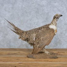 Sage Grouse Bird Mount For Sale #14827 @ The Taxidermy Store