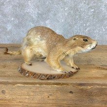 Prairie Dog Prop Taxidermy Mount #21773 For Sale @ The Taxidermy Store