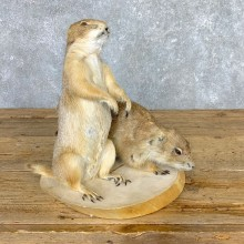 Prairie Dog Set Life-Size Taxidermy Mount #21772 For Sale @ The Taxidermy Store