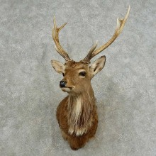 Sika Deer Shoulder Mount For Sale #16763 @ The Taxidermy Store