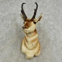 Pronghorn Antelope Shoulder Mount For Sale #16909 @ The Taxidermy-Store