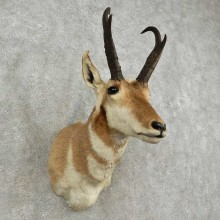Pronghorn Antelope Shoulder Mount For Sale #16910 @ The Taxidermy-Store