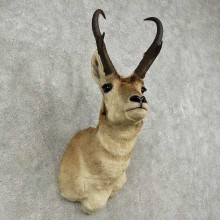 Pronghorn Antelope Shoulder Mount For Sale #16916 @ The Taxidermy Store