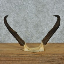 Pronghorn Taxidermy Skull Cap & Horns Mount #10788 For Sale @ The Taxidermy Store