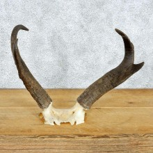 Pronghorn Taxidermy Skullcap & Horns Mount #12563 For Sale @ The Taxidermy Store