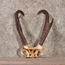 Pronghorn Antelope Horns #10786 - For Sale - The Taxidermy Store