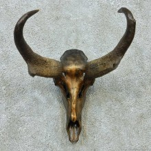 Pronghorn Skull & Horns European Mount #13582 For Sale @ The Taxidermy Store