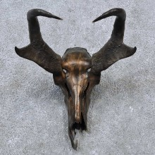 Pronghorn Skull & Horns European Mount For Sale #15636 @ The Taxidermy Store