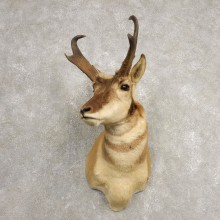 Pronghorn Antelope Shoulder Mount For Sale #20471 @ The Taxidermy-Store