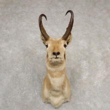 Pronghorn Antelope Shoulder Mount For Sale #20530 @ The Taxidermy Store