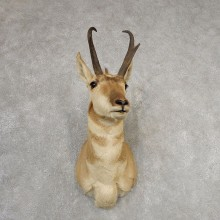 Pronghorn Antelope Shoulder Mount For Sale #21148 @ The Taxidermy Store