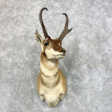 Pronghorn Antelope Shoulder Mount For Sale #23993 @ The Taxidermy-Store