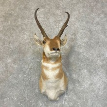 Pronghorn Antelope Shoulder Mount For Sale #24112 @ The Taxidermy Store