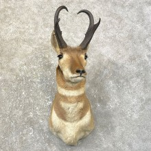 Pronghorn Antelope Shoulder Mount For Sale #25160 @ The Taxidermy-Store