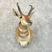 Pronghorn Antelope Shoulder Mount For Sale #25163 @ The Taxidermy Store